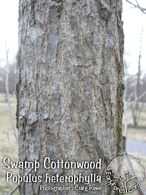 Swamp Cottonwood Bark