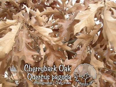 Cherry Bark Oak Leaves