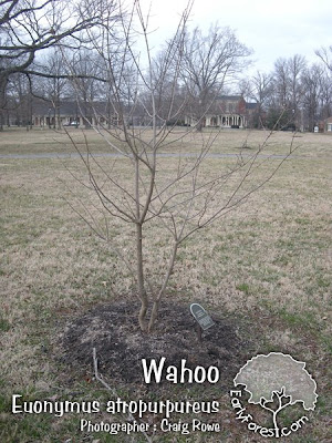 Wahoo Tree
