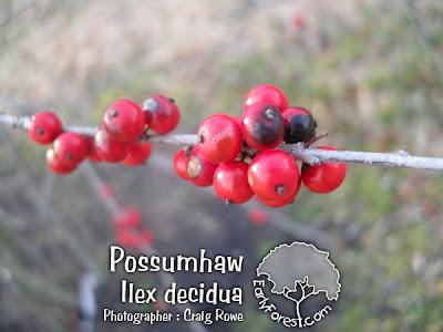 Possumhaw Fruit