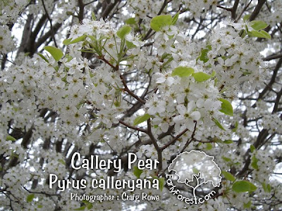 Callery Pear Blooms