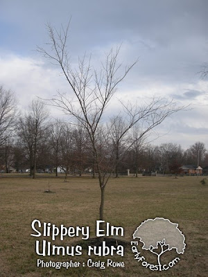 elm tree identification. american elm tree