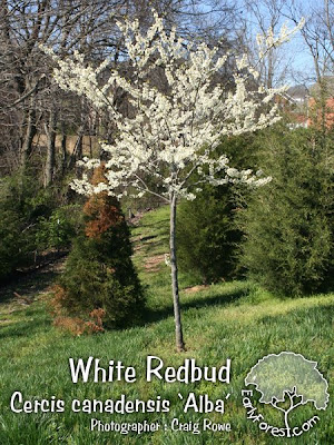 White Redbud Tree in Bloom