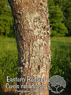 Eastern Redbud Bark