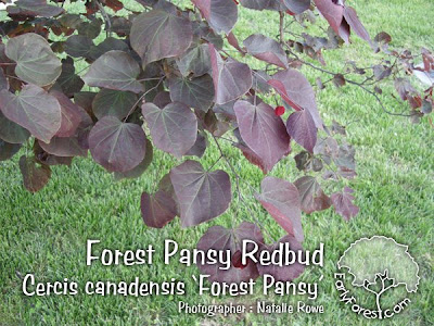 Forest Pansy Redbud Leaves