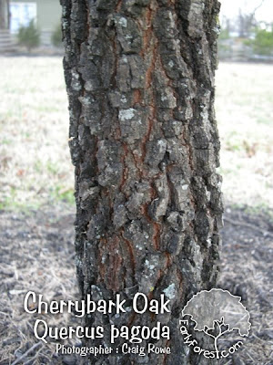 Cherrybark Oak Bark