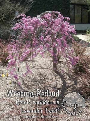 'Lavender Twist' Redbud