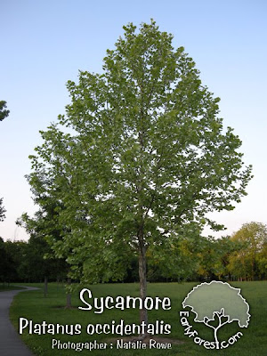 Sycamore Tree. More Sycamore Photos. Posted by Craig at 4:09 AM