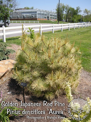 Golden Japanese Red Pine