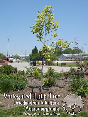 washington hawthorn tree facts. Variegated Tulip Tree