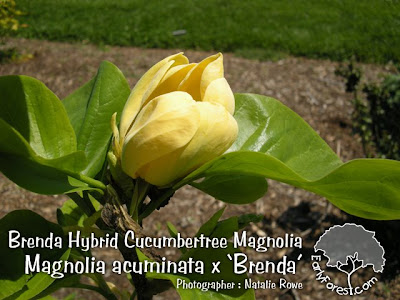 magnolia tree flower. saucer magnolia tree flowers.