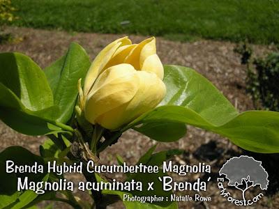 Brenda Hybrid Cucumbertree Magnolia Flower