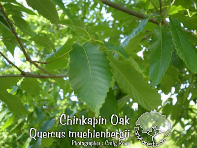 Chinkapin Oak Leaves