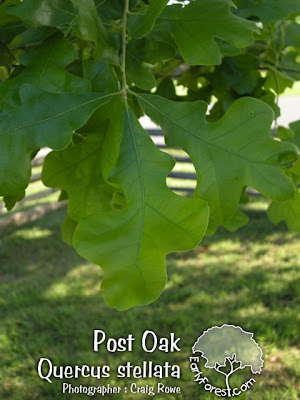 Post Oak Leaf