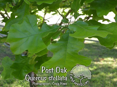 Post Oak Leaves