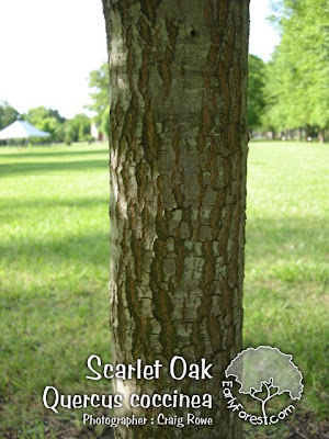Scarlet Oak Bark