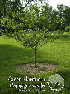 Green Hawthorn Tree