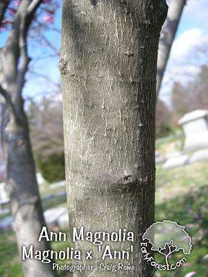 Ann Magnolia Bark
