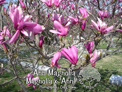 Ann Magnolia Flowers