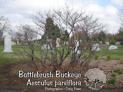 Bottlebrush Buckeye Grove