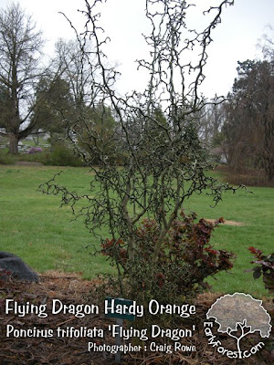 Flying Dragon Hardy Orange Tree