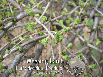 Weeping Larch Foliage