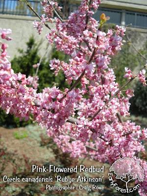 Rubye Atkinson Pink Redbud Flowers