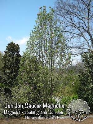 Jon Jon Magnolia