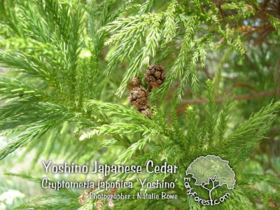 Yoshino Japanese Cedar Foliage and Seed Cones
