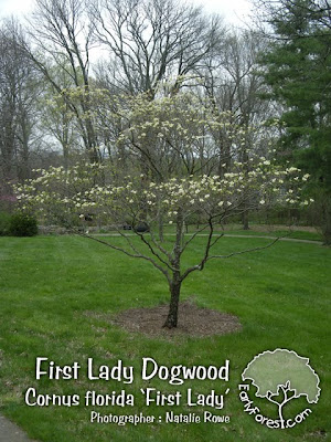 First Lady Dogwood Tree
