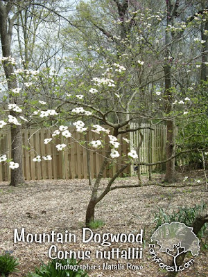 Mountain Dogwood Tree