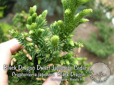 Black Dragon Dwarf Japanese Cedar Leaves