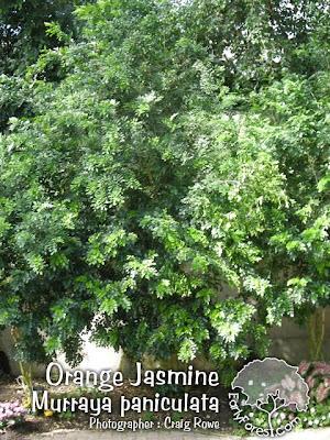 Orange Jasmine Tree
