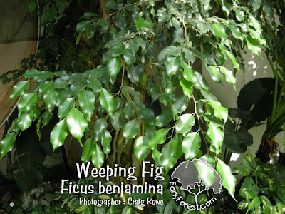 Weeping Fig Leaves