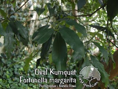 Oval Kumquat Leaves