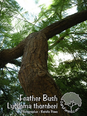 Feather Bush Bark