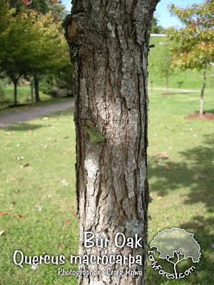 Bur Oak Bark