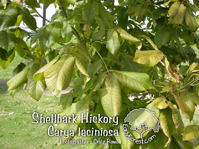 Shellbark Hickory Leaves