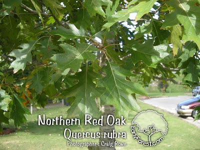 Northern Oak Leaves