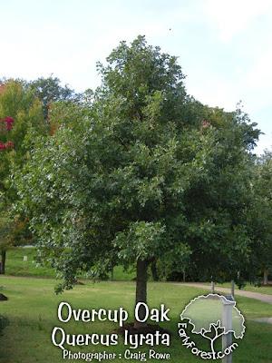 Overcup Oak Tree