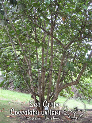 Sea Grape Tree
