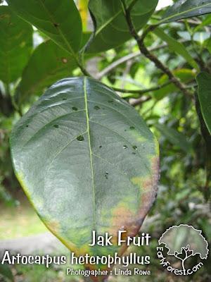 Jak Fruit Leaf