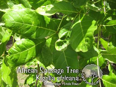 African Sausage Tree Leaves