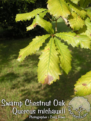 Swamp Chestnut Oak Leaves