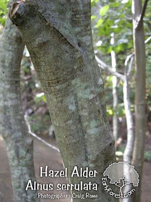 Hazel Alder Bark