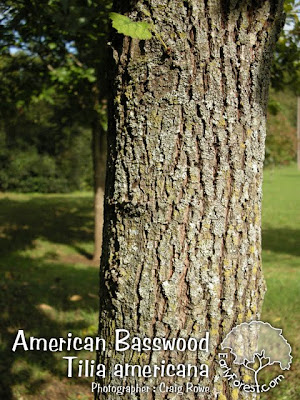 American Basswood Bark
