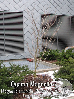 Colossus Oyama Magnolia Tree