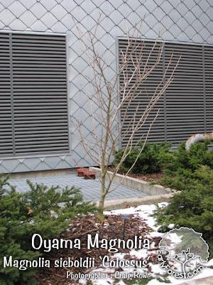 Colossus Oyama Magnolia Tree
