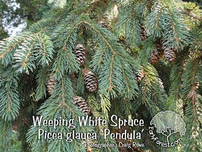 Weeping White Spruce Cones