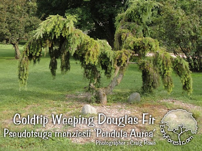 Goldtip Weeping Douglas Fir